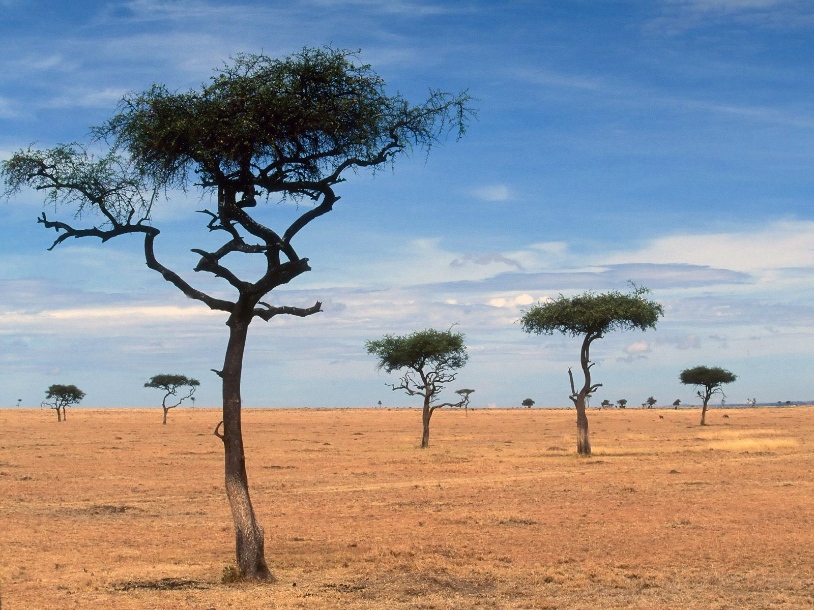 Scattered Acacia Trees Kenya Africa Africa Photography Landscape Kenya Africa [ 1200 x 1600 Pixel ]
