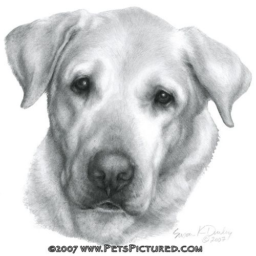 how to draw a labrador puppy step by step portrait of alex yellow labrador