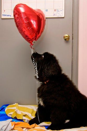 Photos: Valentine's Day goes to the dogs  http://pawsforreaction.blogspot.ca/2015/02/photos-valentines-day-goes-to-dogs.html