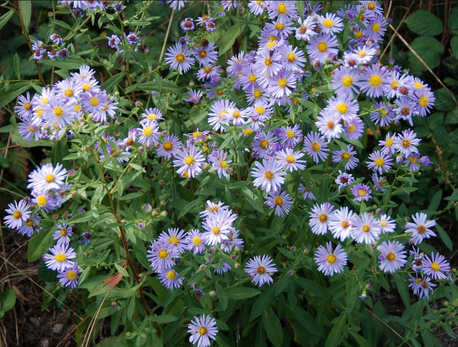 Aster chilensis california aster bloomingnow