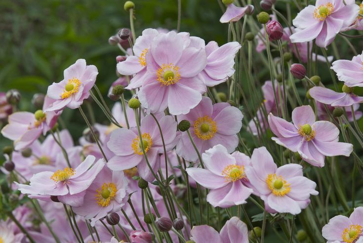 Beautiful Anemone Varieties For The Garden And Vase Anemone Flower Anemone Beautiful Flowers