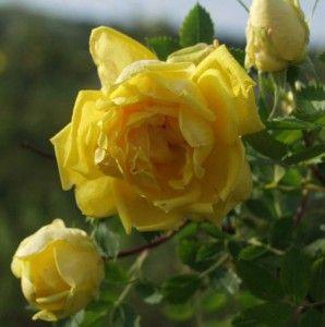 persiankeltaruusu Persiana