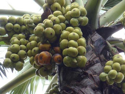 Asian nut bearing palms