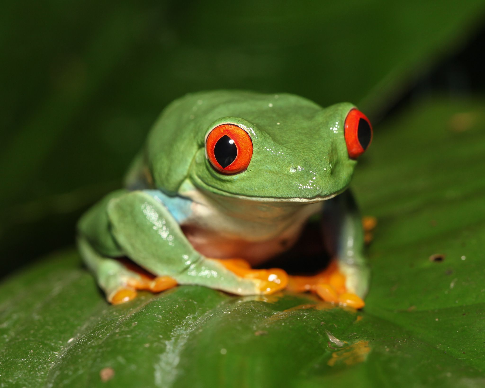 Photograph tree frog by Randy Dellinger on 500px