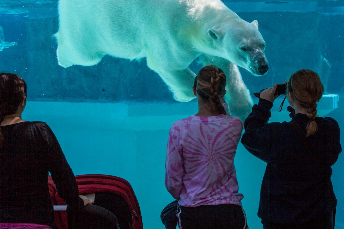 Anana Polar Bear Polar Bear Lincoln Park Zoo Bear Habitat