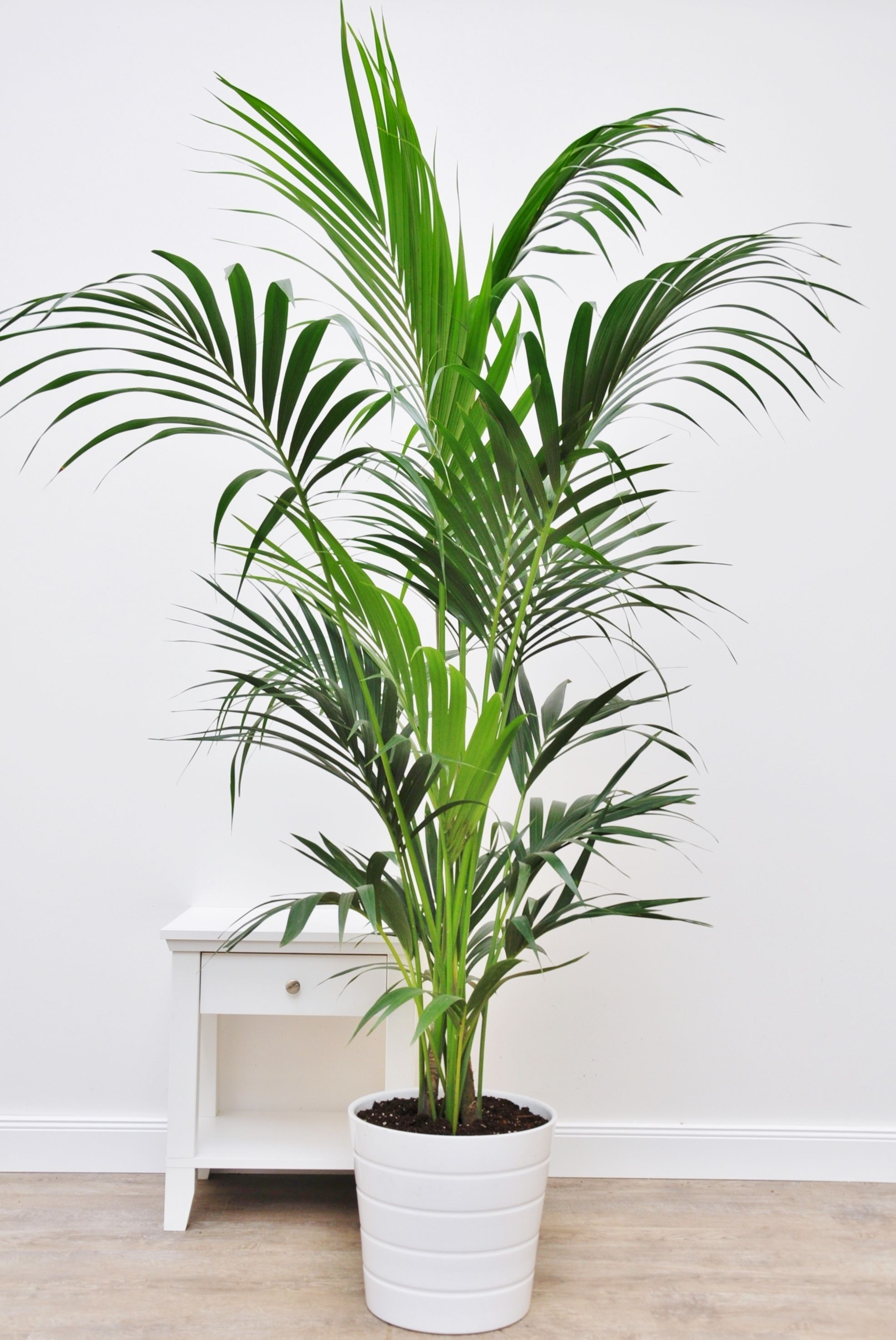Kentia Palme Tuff Indoor Pflanzen Dekor Kentia Palme Pflanzen Dekor