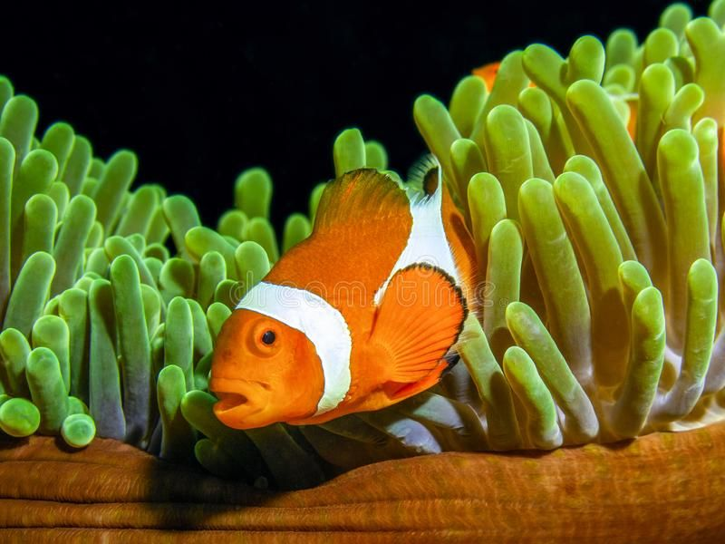 Clown Fish Of Nemo Fame Ocellaris Clownfish Side On Composition Of Clown Fish Affiliate Ocellaris Clownfish Side Fam Clown Fish Fish Tropical Fish