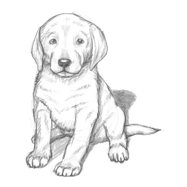 How to Draw a Golden Retriever Puppy.Golden retriever pictures are ...