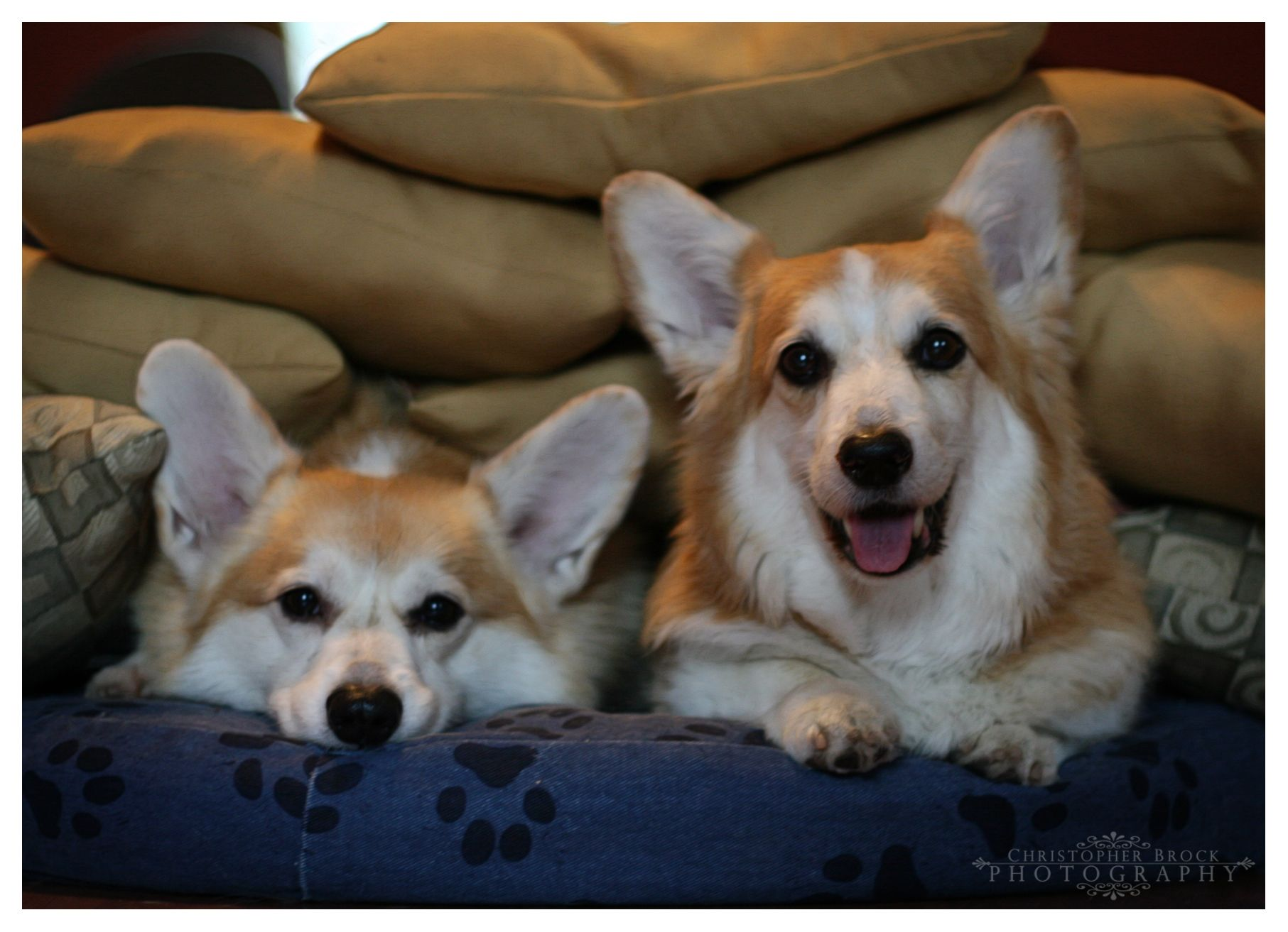 Corgis huddled in their pillow fort