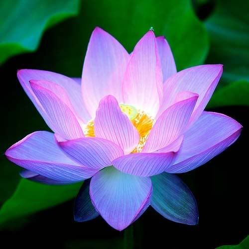 Lotus flower has something hidden and glowing in the center.: