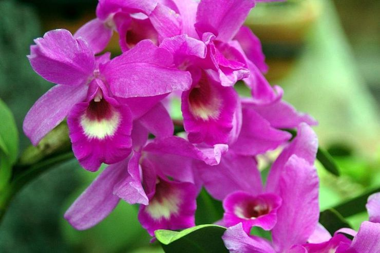 Guaria Morada Orchid Paraiso Costa Rica Art Flowers Flower Images
