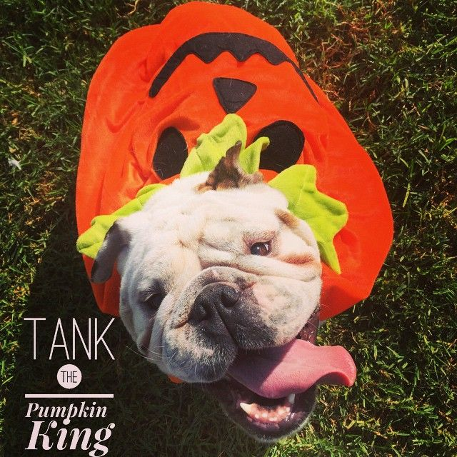 Tank is the Pumpkin King and he's looking for a new home