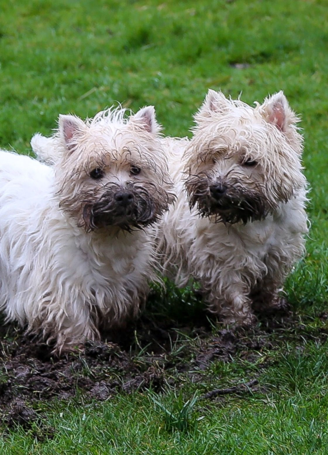 Did Someone Shout Us Westies Dogs