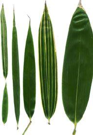Différentes Feuilles De Bambou Bambou Bambous Jardin Et