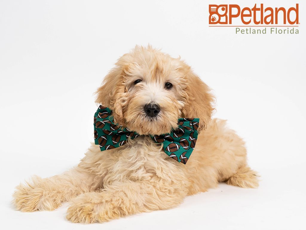 Puppies For Sale Mini Goldendoodle Puppies Goldendoodle Puppy