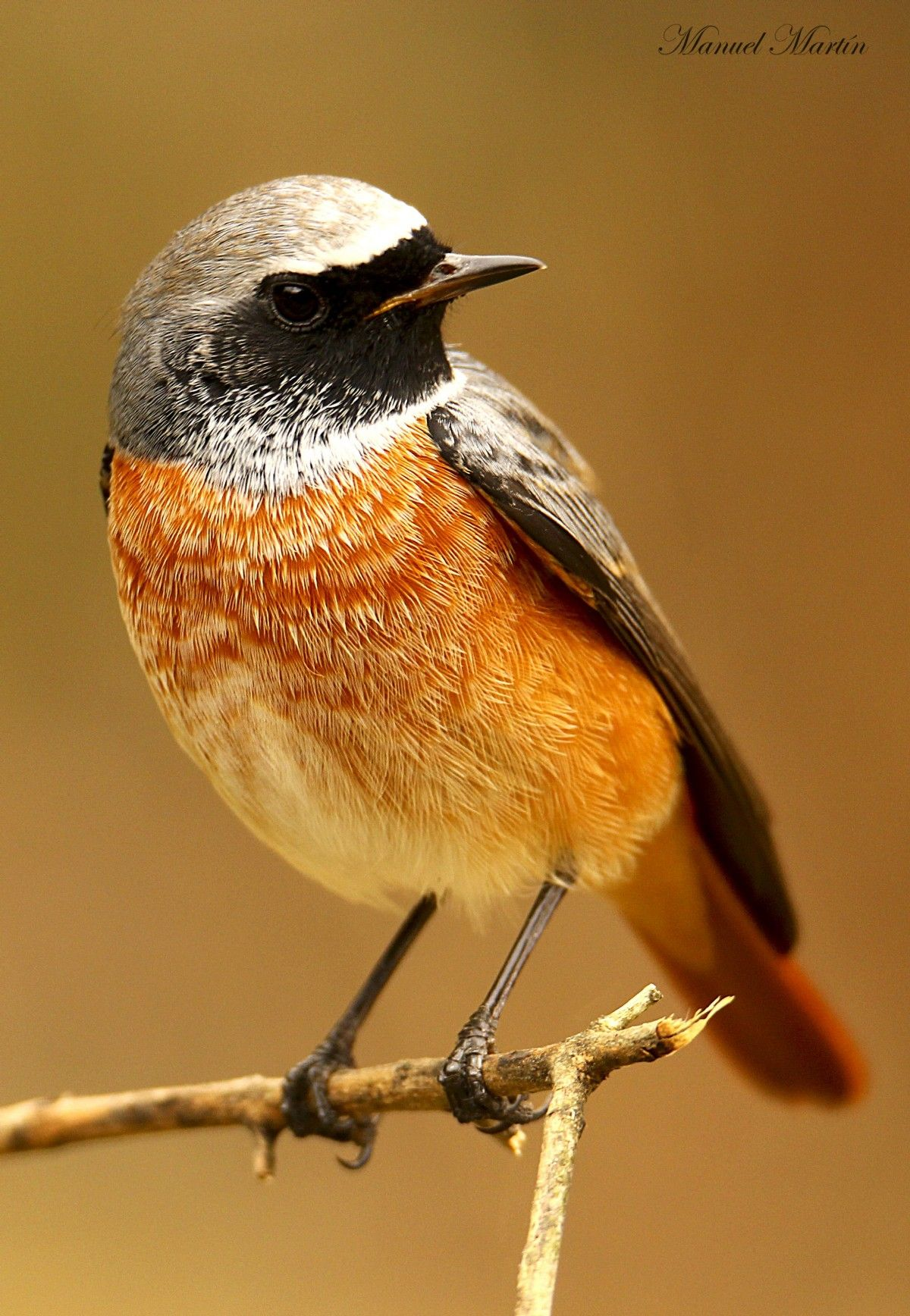 Colirrojo Real Phoenicurus Phoenicurus Verderon Aves De Costa