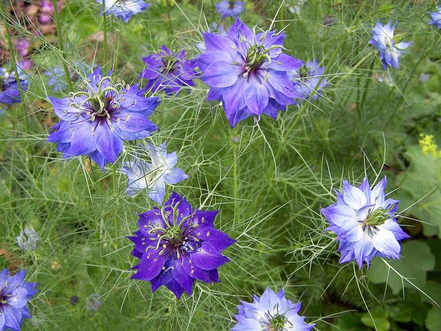 Nigella 1 Annual Flowers Growing Flowers Growing Seeds
