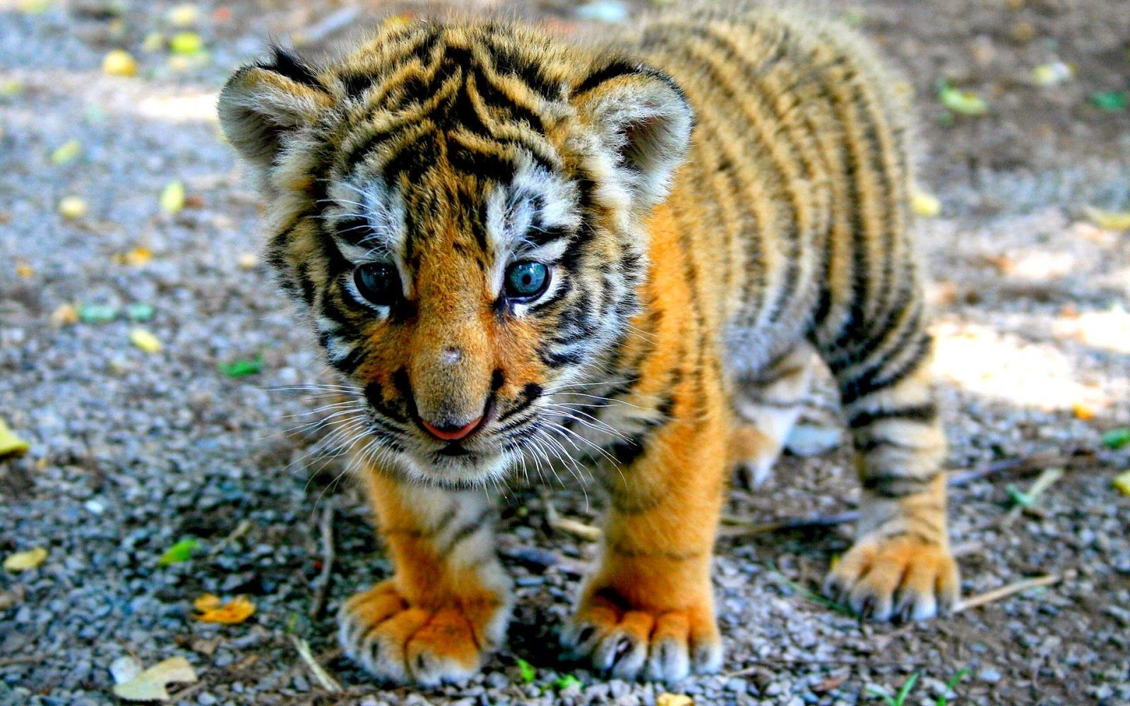 look at this adorable baby bengal tiger. look at it!!!!!! | animal