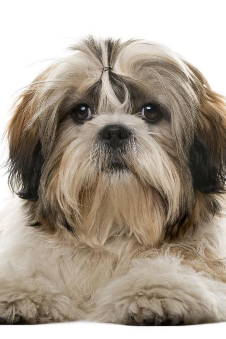 Shih Tzu Dog In Studio On A White Background Shihtzu Shih Tzu Dog Shih Tzu Dogs