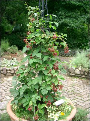 Plant Id Fruits Nuts Raspberry Uf Ifas Master Gardeners
