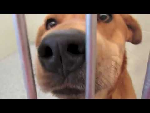 Labrador Retriever Puppies Memphis Memphis Humane Society Why
