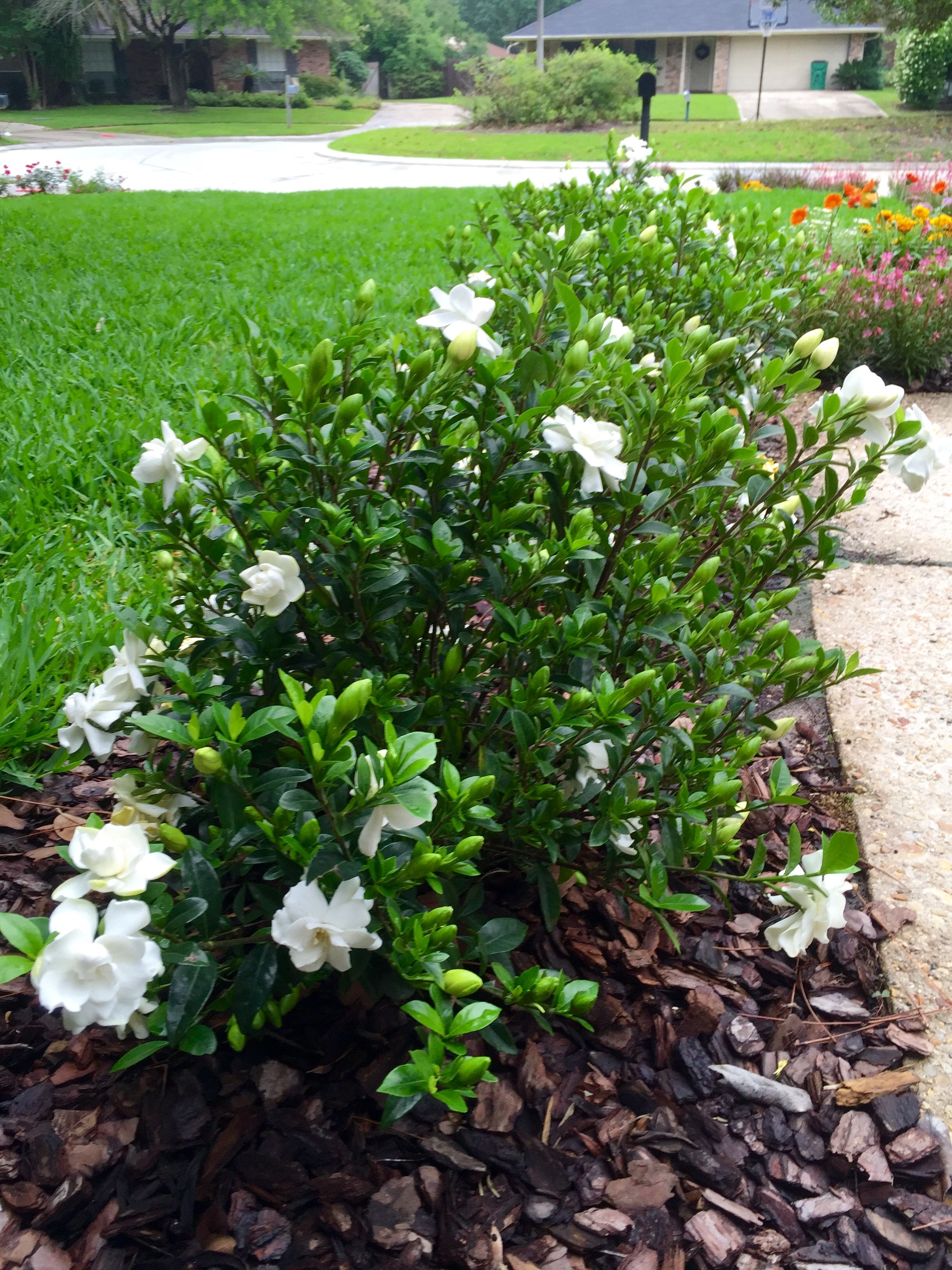Jubilation Gardenia With Images Small Garden Landscape Front
