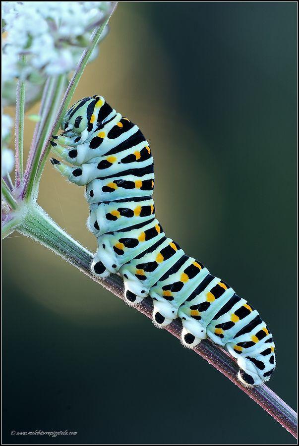 machaon caterpillar