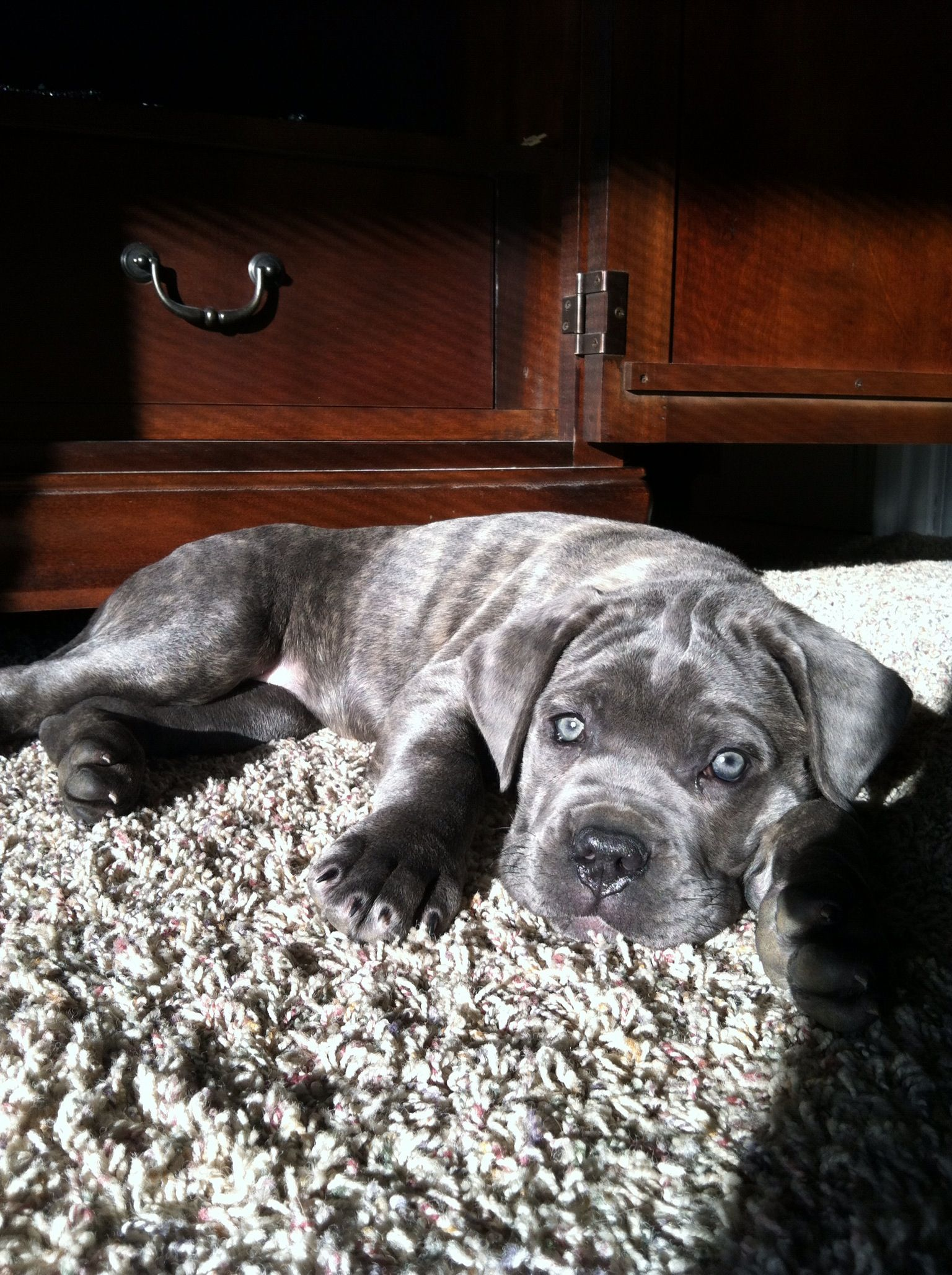 Pin By Chris Graham On Boxer Mix With Images Cane Corso Dogs