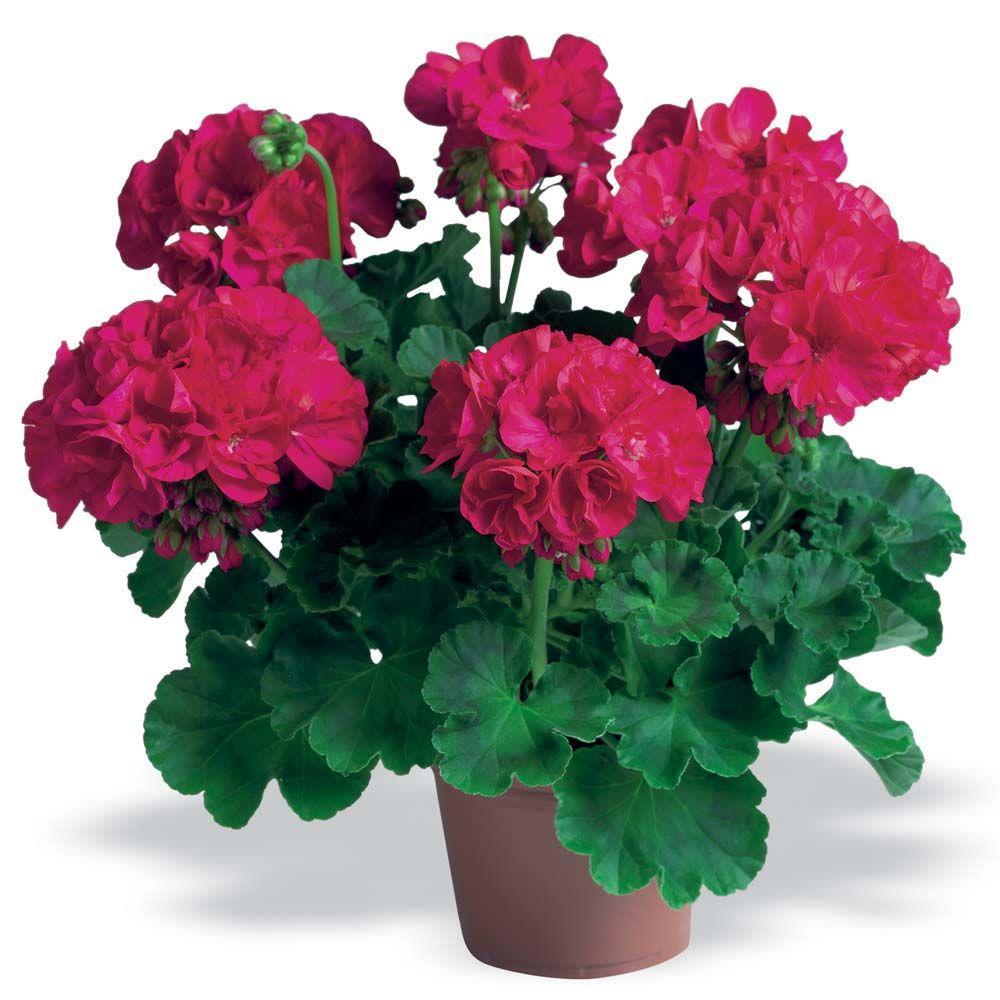 Martha Washington Geraniums Care: Double Flowering Geraniums