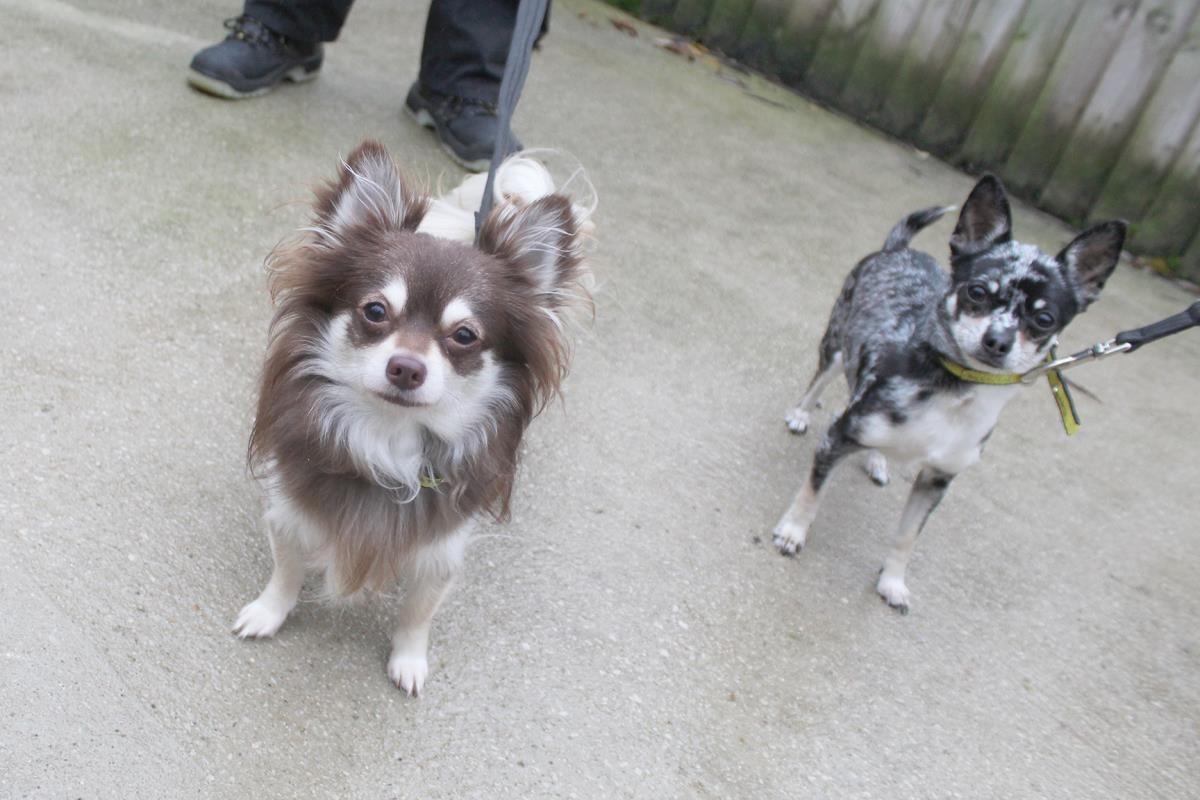 Adopt A Dog Coco Chihuahua Short Hr Dogs Trust Dog Adoption Dogs