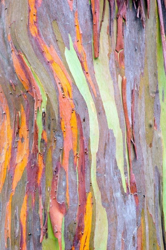 11 Most Remarkable Trees on the Planet – 6. Rainbow Eucalyptus Trees