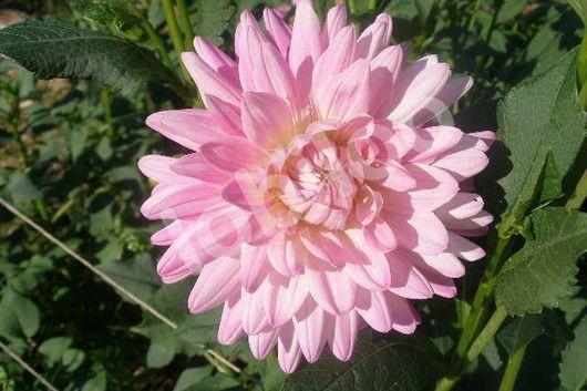 Dahlias Field Light Pink From Lobiloo Flower Namesdahliaswild