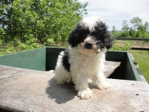 Parti Colored Registered Maltipoo Puppies They Are 8 Weeks Old Maltipoo Puppy Puppies Maltipoo