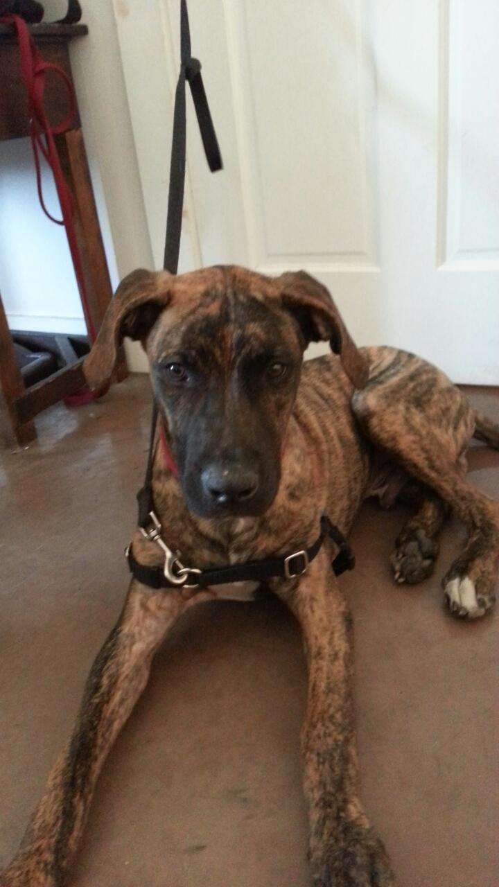 Adopt Hi Jinks Big Pup Big Foot Jr On Petfinder Great Dane Mix Puppies And Kitties Great Dane
