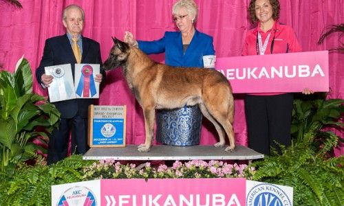 Best Of Breed Akc Malinois Dog Show Google Search Malinois