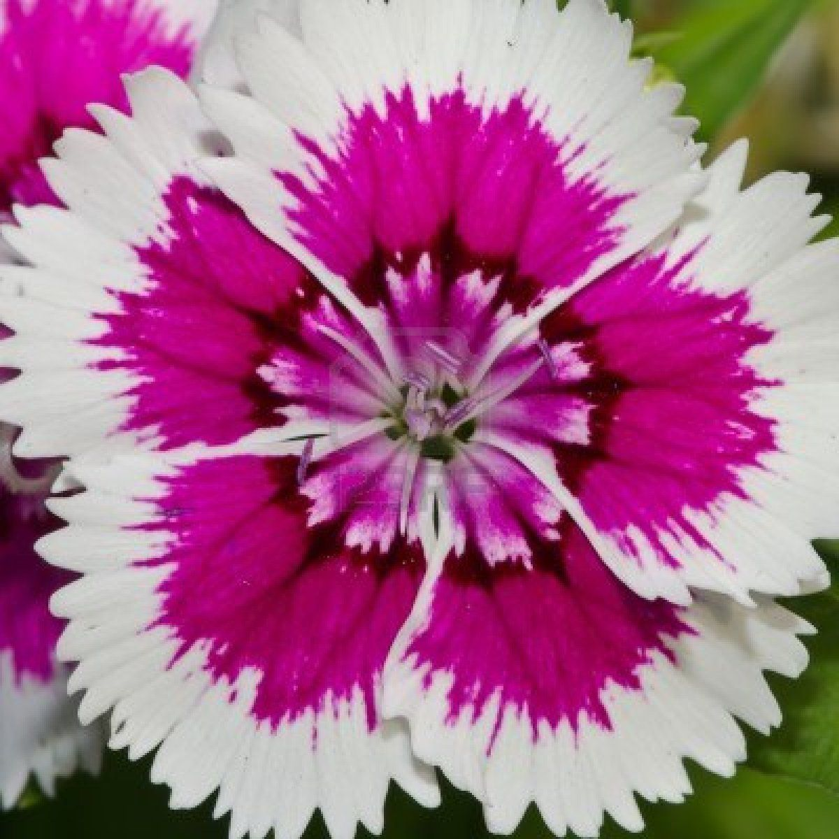 Dianthus Chinensis China Pink Is A Species Of Dianthus Native