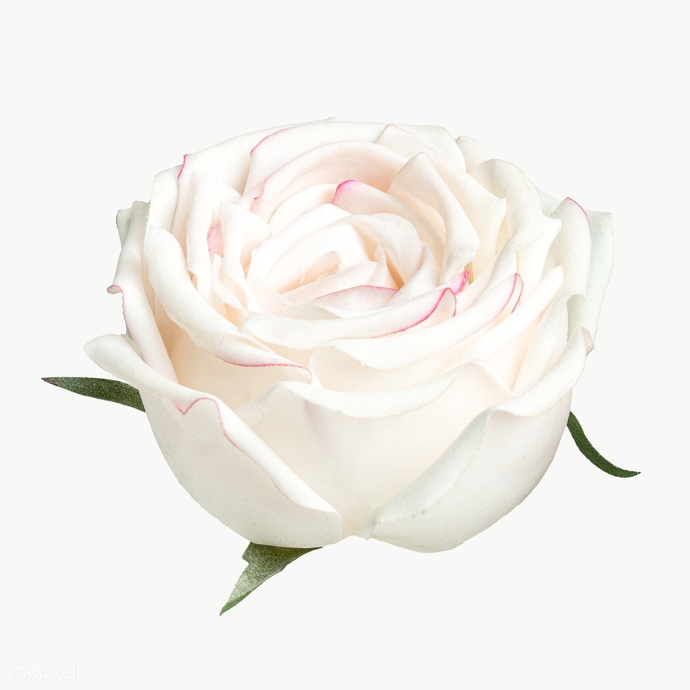 White Rose Flower Transparent Png Free Image By Rawpixel Com Teddy Rawpixel White Rose Flower White Roses Background Yellow Rose Flower