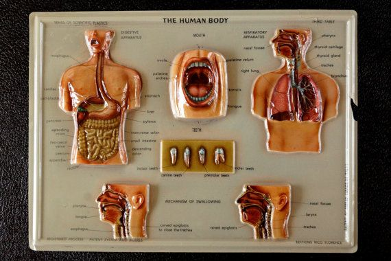 Superb Vintage 3D Human Body Chart Respiratory And Digestive System By Wiring Cloud Hisonuggs Outletorg