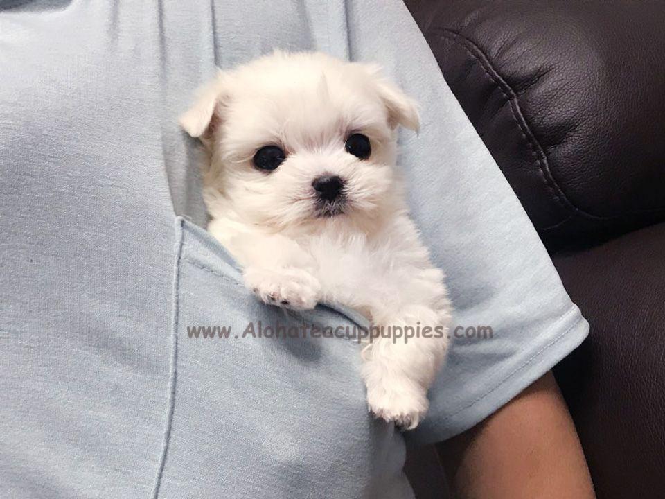 A Teacup Pocket Boy Leo Come Here Alohateacup Puppies Aloha
