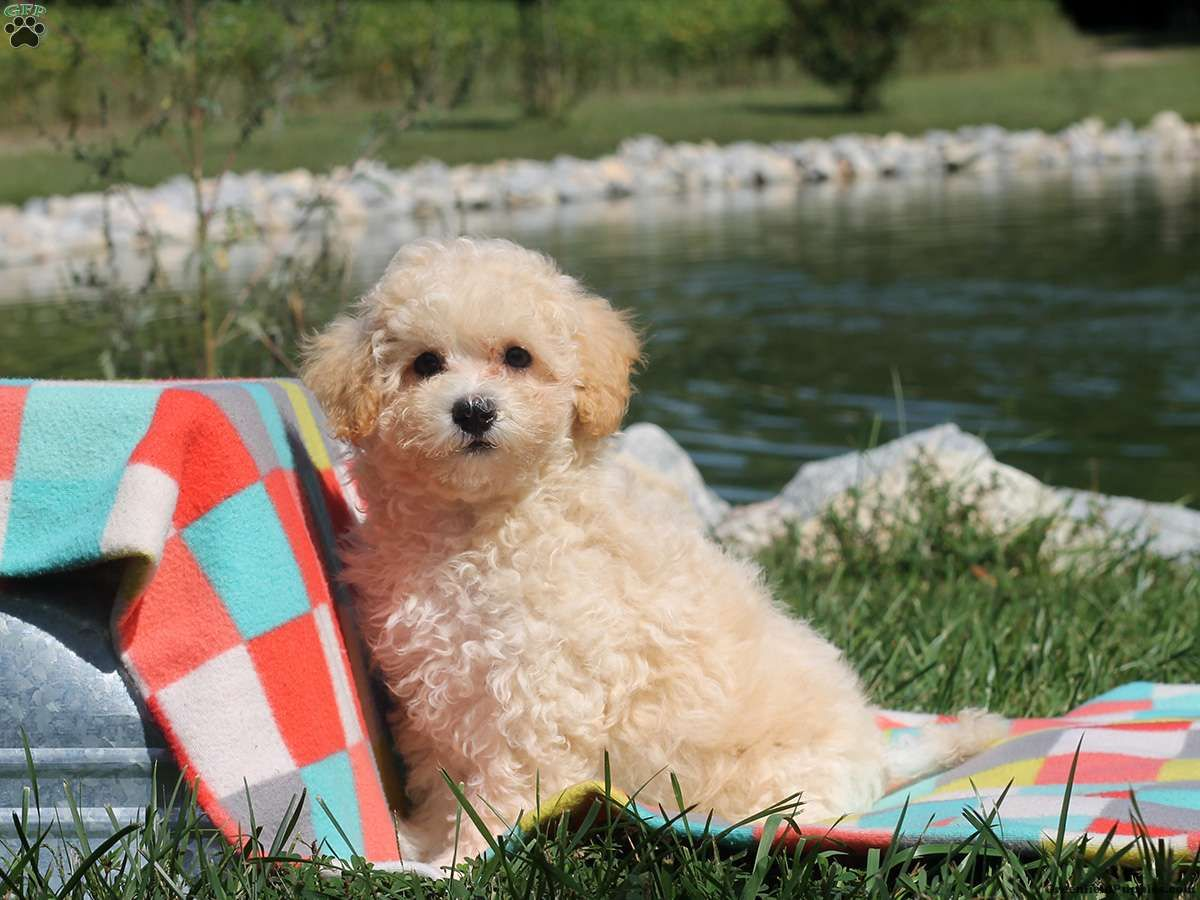 Della Maltipoo Puppy For Sale In Delaware Maltipoo Puppies For
