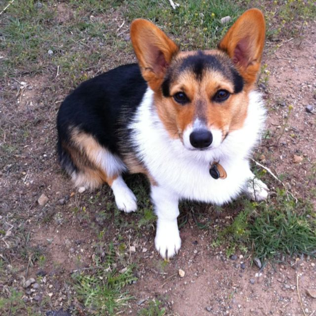 My Baby All Grown Up Corgi Animals Dogs