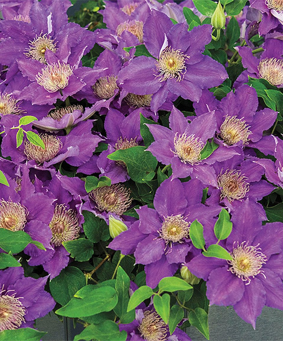 Loving this live bijou clematis plant on zulily zulilyfinds may