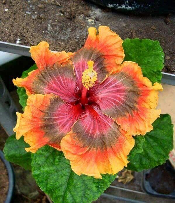 fleur d 'hibiscus | flowers | pinterest | fleur, plantes et hibiscus