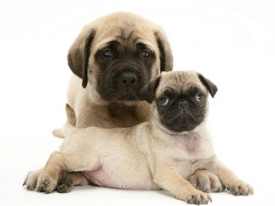 Fawn Pug Puppy With Fawn English Mastiff Puppy Premium Poster