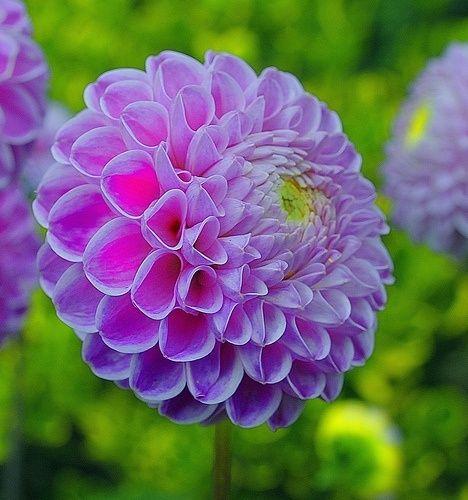 Pom Pom Flowers Garden Love