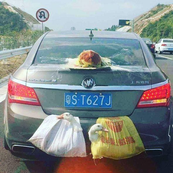 Dos patos y una gallina en un coche