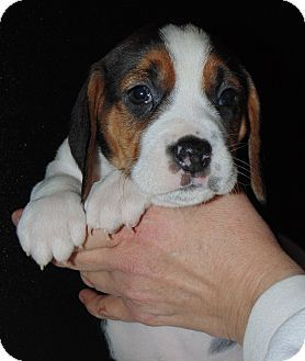 Wood Dale Il Beagle Pointer Mix Meet Savannah A Puppy For