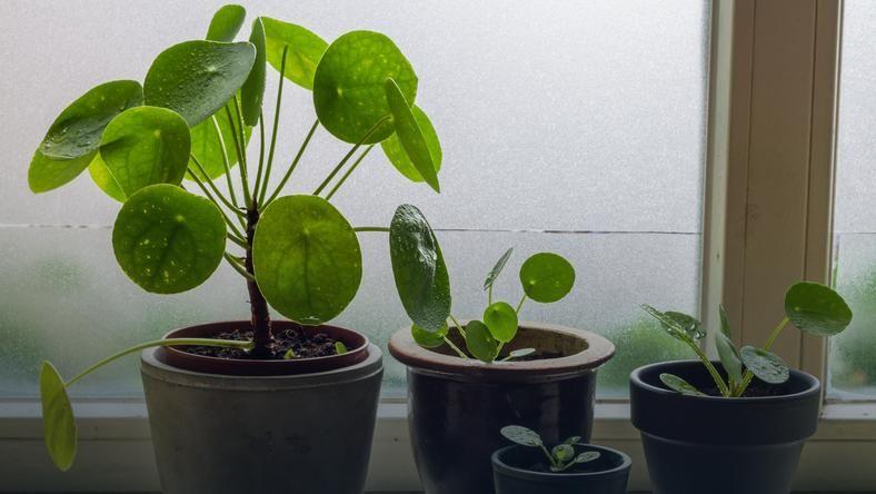 Na Lata O Nim Zapomniano Ale Rok 2019 To Zdecydowanie Rok Pieniazka Jest Tak Popularny Ze W Wielu Kwiaciarniach I Sk Cucumber Plant Plants Gumtree Australia