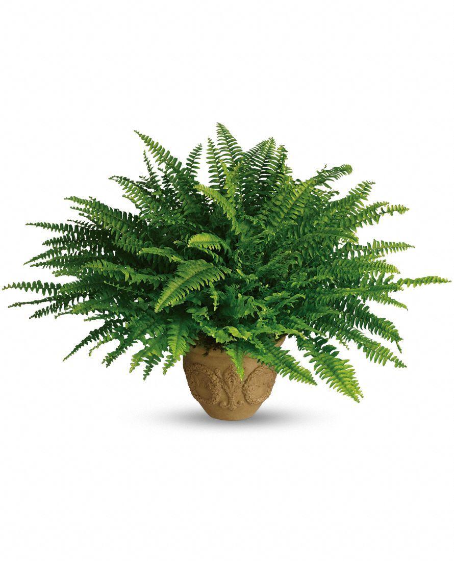 Growing boston ferns nephrolepsis exaltata care tips