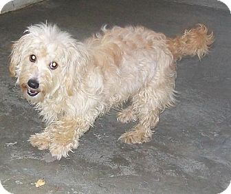 Tifton Ga Toy Poodle Chihuahua Mix Meet Apricot A Dog For